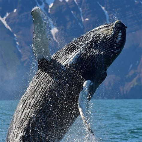 Whale Watching in Island | Guide to Iceland