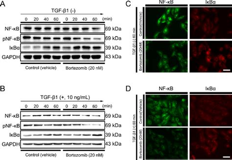 Regulation of NF-kB signaling pathway after treatment of