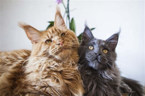 Le Chat Maine Coon - Wegroup